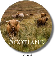 Highland Cow 5